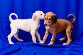 Saluki Pups