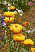 Helichrysum (everlasting ) Flowers On Flowerbed