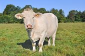 stock photo of charolais  - white Charolais cow in a verdant meadow - JPG