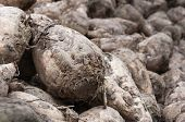 stock photo of root-crops  - Detailed image of a pile with just harvested sugar beets ready for transport to the sugar refinery - JPG