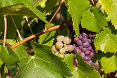 Plant with grapes