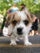 stock photo of applehead  - a tiny chihuahua mix in a parking lot - JPG