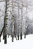 Birch winter alley