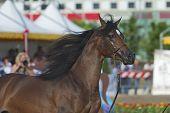Arabian Horse Show In Salerno