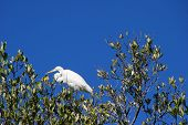 Great Egret Bird