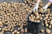 Farmer Harvesting Organic Potatoes