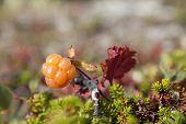 Rubus chamaemorus, cloudberry and bakeapple.