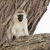 Resting - black faced monkey