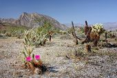 image of anza  - Blooming Cactus with Purple Flower at Anza - JPG