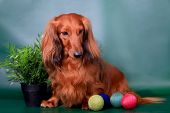 image of long-haired dachshund  - Long haired dachshund sitting with decoration on green background - JPG