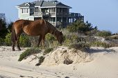 Wild horses graze in the protected northern tip of the Outer Banks in Corolla, North Carolina among
