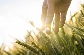 pic of farmer  - Hand of a farmer touching ripening wheat ears in early summer - JPG