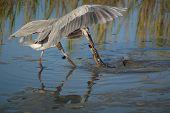 Heron captura de enguia americana