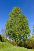 stock photo of risen  - green birch tree nature background nobody summer - JPG