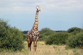 Постер, плакат: Жираф Жираф жирафа