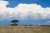 Thorn tree and white thunder clouds