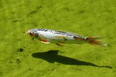 Koi fish in a pond swimming.
