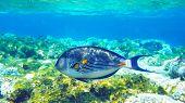 Arabian Surgeonfish Underwater Deep Red Sea
