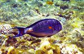 Beautiful Arabian Surgeonfish Underwater Deep Red Sea