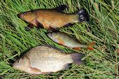 Caught Fishes Tench, Perch And Crucian