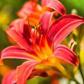 Close Up Daylilies Or Hemerocallis In Summersun