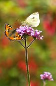 Large White And Small Tortoiseshell Butterflies On Verbena Flowers