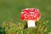 Red Toadstool