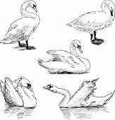 Sketch Of A Swans.eps