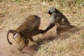 Male Olive Baboons (papio Anubis) Fighting