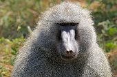 Portrait Of A Male Olive Baboon (papio Anubis)