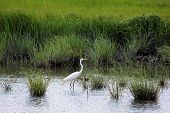 image of marshlands  - Beautiful Great Egret  - JPG