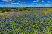 stock photo of bluebonnets  - A Beautiful Wide Angle Shot of a Texas Field Blanketed with the Famous Texas Bluebonnet  - JPG