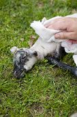 Hands Cleaning Newborn Lamb