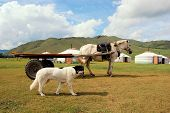 image of mongolian  - Farm animals dog and horse in the Mongolian steppe in front of traditional yurts - JPG