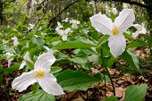 image of trillium  - White Trilliums growing on the forest floor - JPG