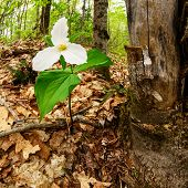 image of trillium  - A single White Trillium growing next to a dead maple tree - JPG