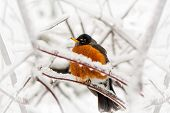 stock photo of robin bird  - An American Robin red breast Turdus migratorius an iconic herald of spring caught in a late spring or early winter snow and ice storm - JPG