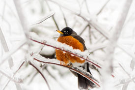 pic of errat  - An American Robin red breast Turdus migratorius an iconic herald of spring caught in a late spring or early winter snow and ice storm - JPG
