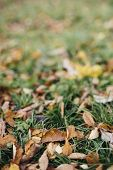 nature background with bright red, orange and yellow autumn leaves  , tilt-shift lens