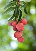 Fresh Lychee On Tree
