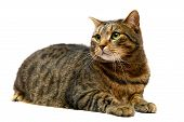 Large adult tabby cat on white