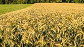 Beautiful Golden Wheat Field