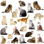picture of vertebrate  - Different breeds of cats - JPG