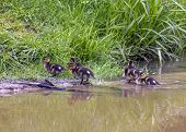 Group Of Ducklings