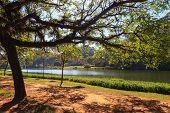 Tropical Tree Lake Ibirapuera Park, Sao Paulo, Brazil