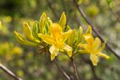 Yellow Rhododendron Closeup