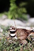 stock photo of killdeer  - Beautiful Killdeer guarding her nest of eggs - JPG