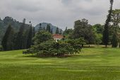 Ficus Benjamina In Peradeniya Botanical Gardens