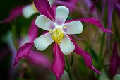 foto of columbine  - Close - JPG