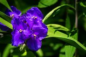 Virginia Spiderwort - Tradescantia virginiana